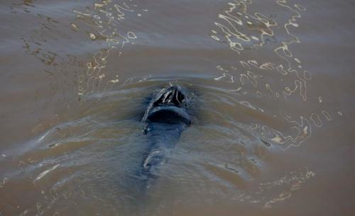 A lost whale swims in Puerto Madero, Buenos Aires, Argentina, Monday, Aug. 3, 2015. Authorities have not identified the type of whale, and it's unclear how they will get it back to sea. A port police boat is traversing the waterway, apparently trying to lure the animal to the connecting Rio de la Plata river, which feeds into the Atlantic Ocean. (AP Photo/Natacha Pisarenko)