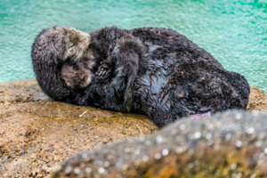 968720_1_sea_otter_birth_1_standard