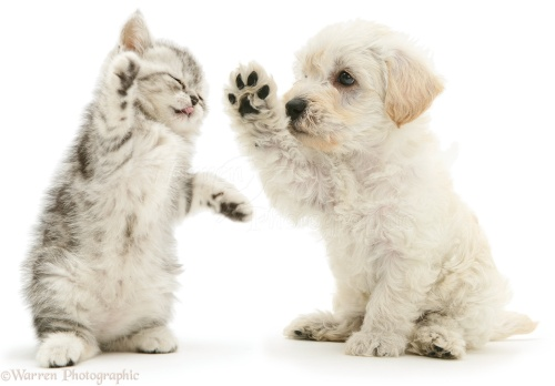 Woodle puppy and kitten boxing