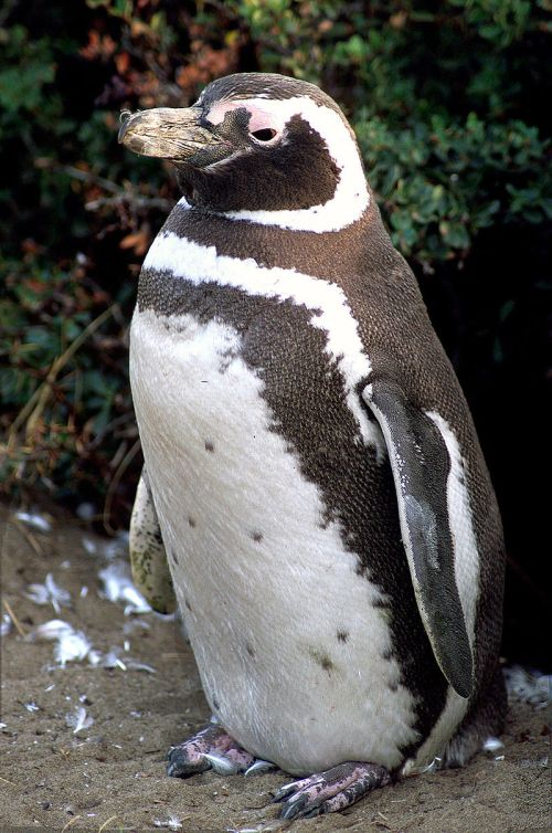 800px-magellanic-penguin02