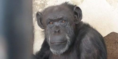 chimpance-cecilia